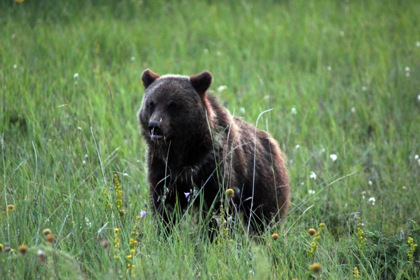 grizzly cub 1.JPG